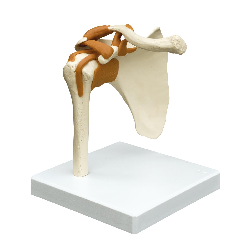 Anatomisch model - schoudergewricht + ligamenten