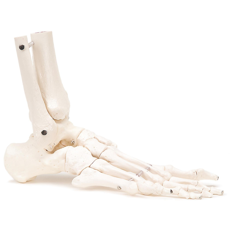 Skelet voet en onderbeen - Rechts