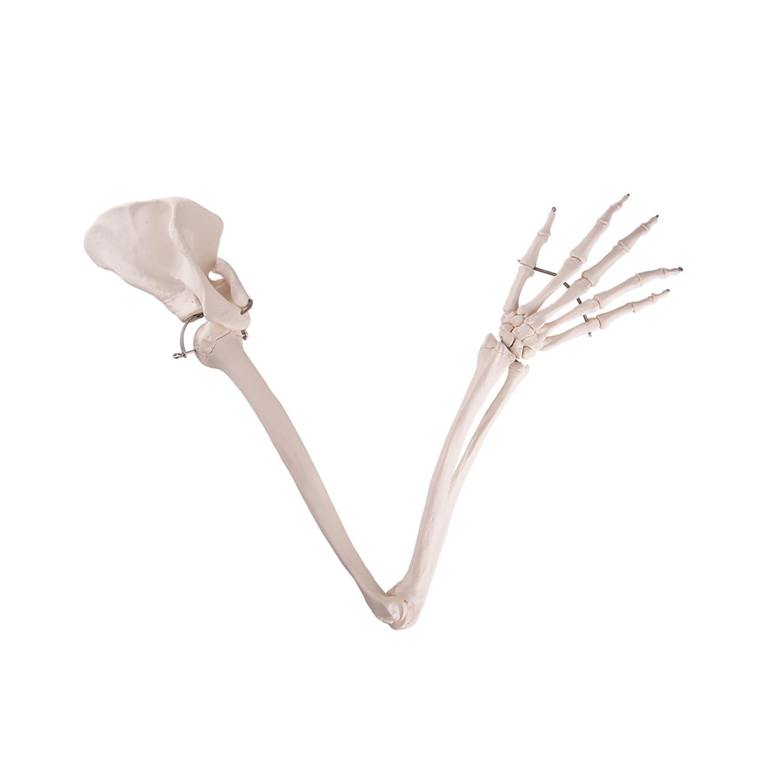 Skelet Arm + schouderblad