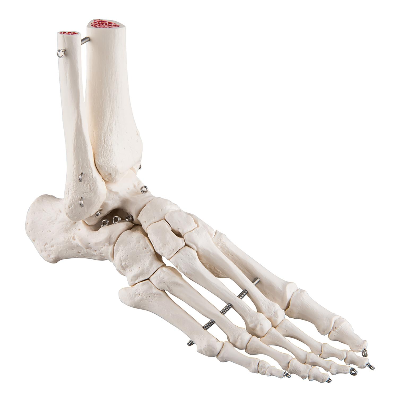 Skelet voet en onderbeen - Links